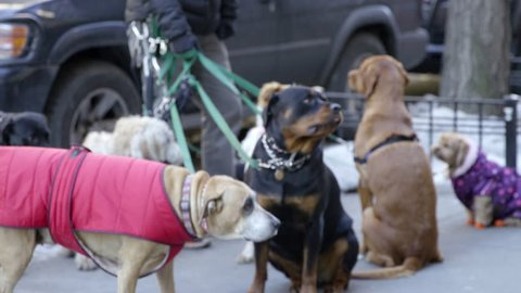 Dogs on Leashes - Different Breeds - Pets Outdoors - Shot on Red Dragon in Slow Motion 4K in New York City, NYC Winter Dogs in Street