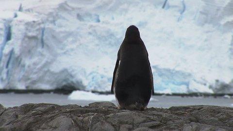 Gentoo Penguin in Paradise Harbour, Antarctica