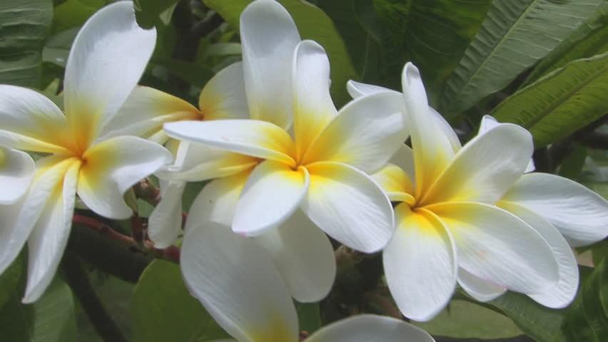 White Plumeria White Plumeria Frangipani Stock Footage Video 100