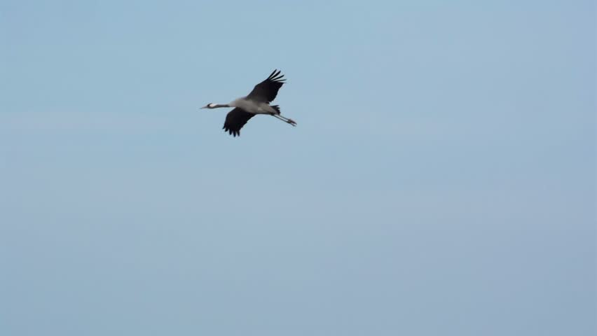 Group of migrating Common Cranes or Eurasian Cranes (Grus Grus) bird flying high up in the air during an autumn day. #9089639