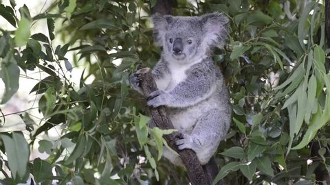 Australian koala outdoors. Queensland, Australia