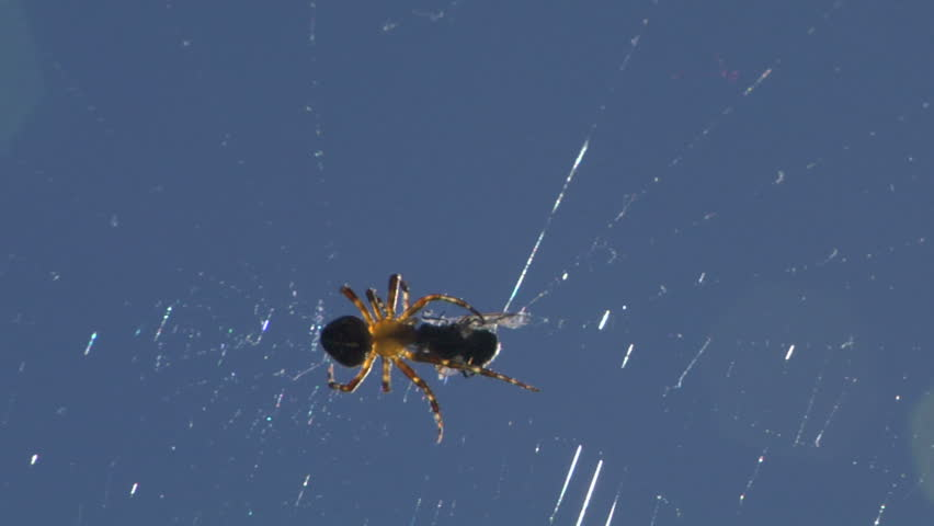 A Spider injecting venom into an insect caught in its web