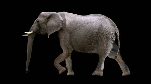 Isolated african elephant cyclical walking. Can be used as a silhouette.