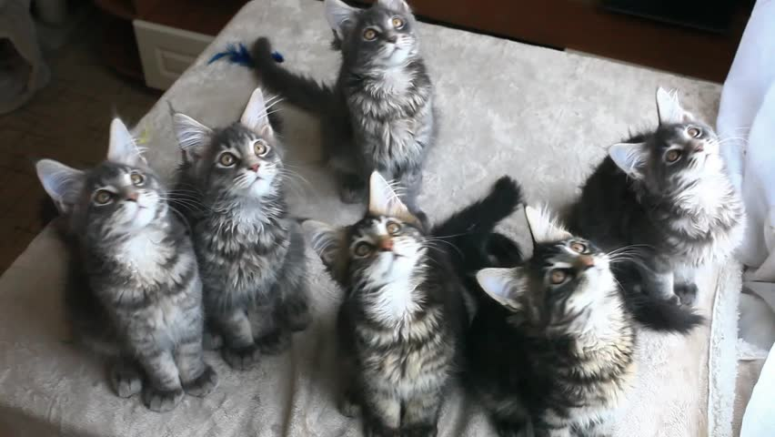 Funny Maine coon cats move their heads back and forth. HD. 1920x1080 #9251609