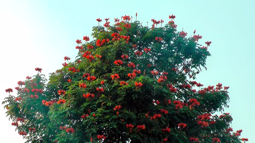 Tropical Tree With Bright Red Orange Flowers Hd 1080p Stock Video Clip