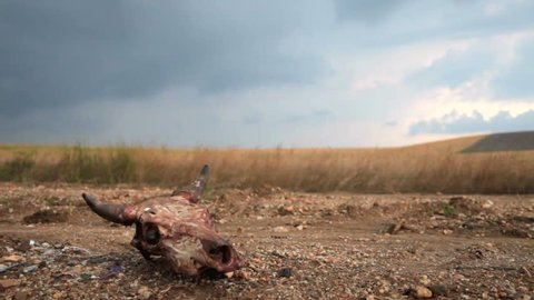 Cow skull on a dirt road through the field