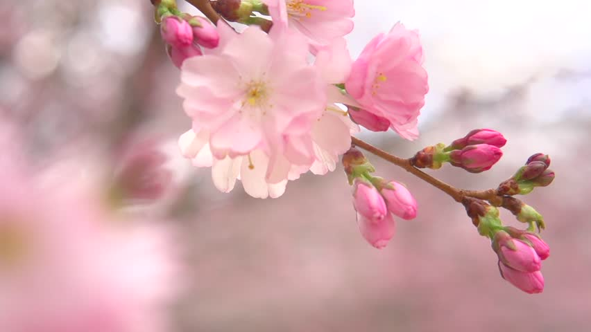 sakura spring flowers spring blossom stock footage video