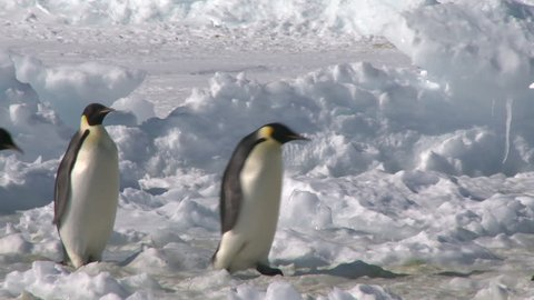 Emperor penguins (Aptenodytes forsteri) waddling across snow and ice, Cape Washington, Antarctica