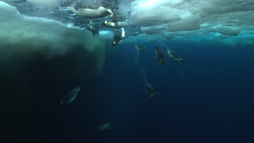 Emperor penguins (Aptenodytes forsteri) swimming near the ice edge and diving, some bubble trails, underwater, Cape Washington, Antarctica