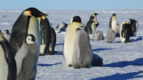 Emperor Penguins Aptenodytes Fosteri At Colony Chick Begs From Adult To Cut