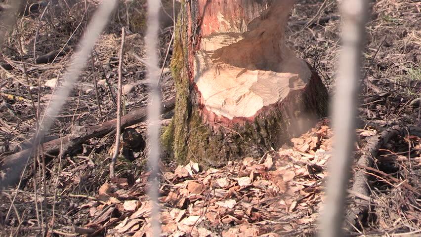 beaver bite marks