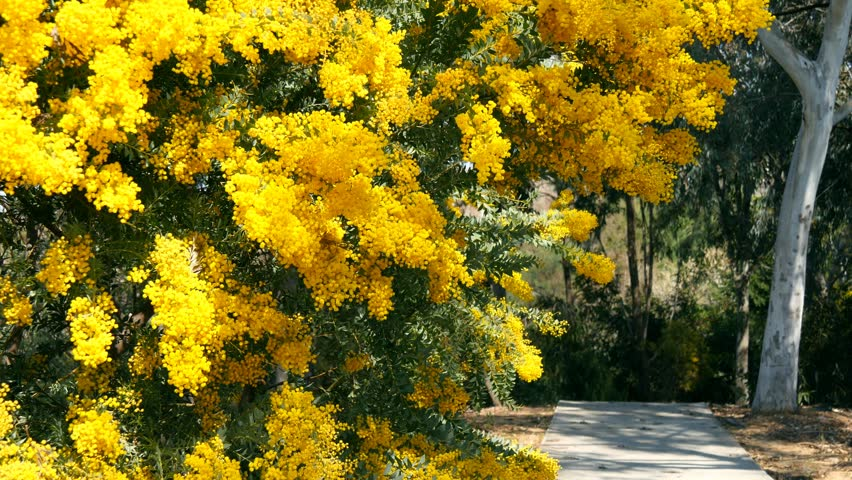 Spring Yellow Acacia Tree In Stock Footage Video 100 Royalty Free