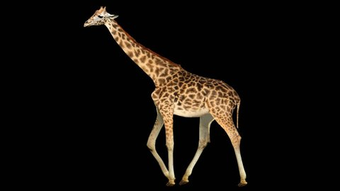 Isolated giraffe cyclical walking. Can be used as a silhouette.