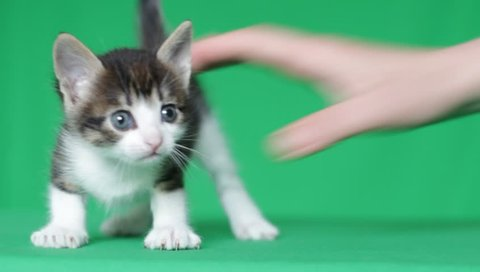 cute kitty mews and shakes her head on a green screen, close-up, chroma key