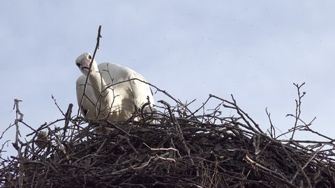 stork builds a nest of twigs