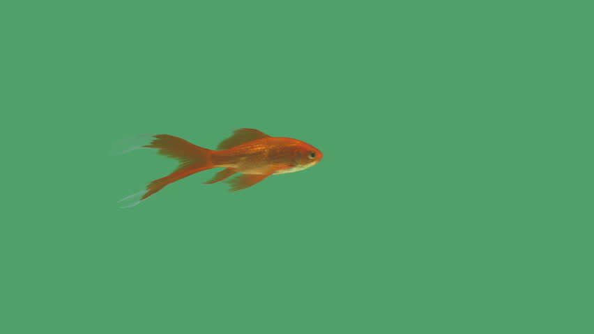 Elegant goldfish swimming on green screen