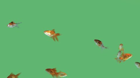 Flock of fish swimming in harmony on green screen