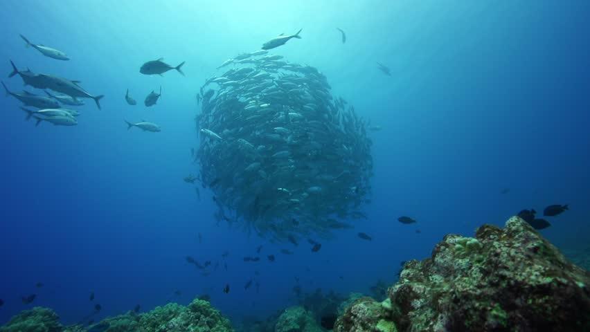 School of big eye jackfish/travelly in backlight