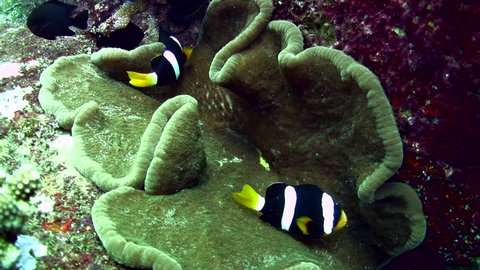 Anêmona adesiva no aquário marinho