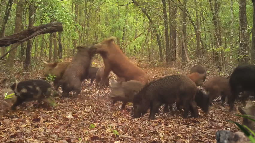 Wild Boar (Sus scrofa) or wild pigs, big Red dominate male attacks black male. Very destructive invasive species which damages many native species and agricultural crops