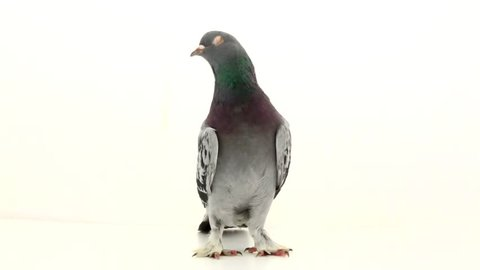 gray pigeon on a white background