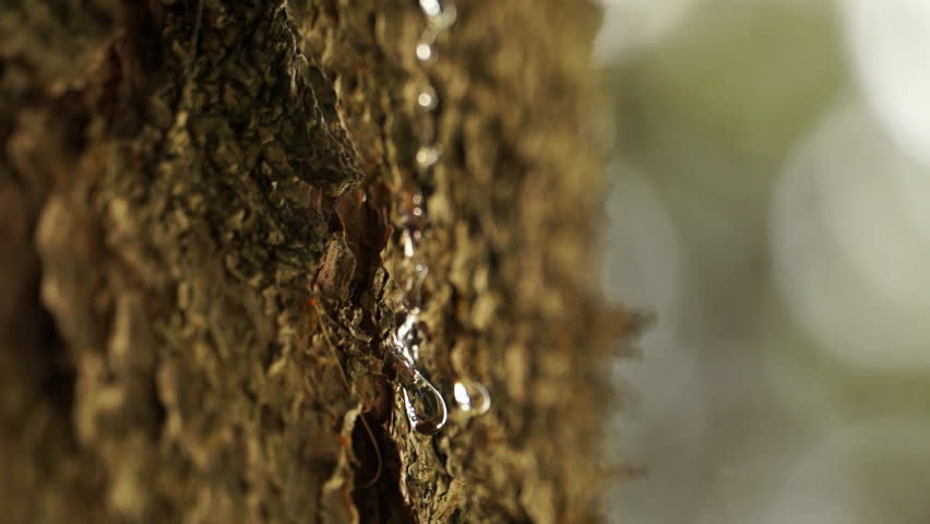 Extreme close up on pine tree sap on trunk. Pine resin. Drops of pine sap in spring.