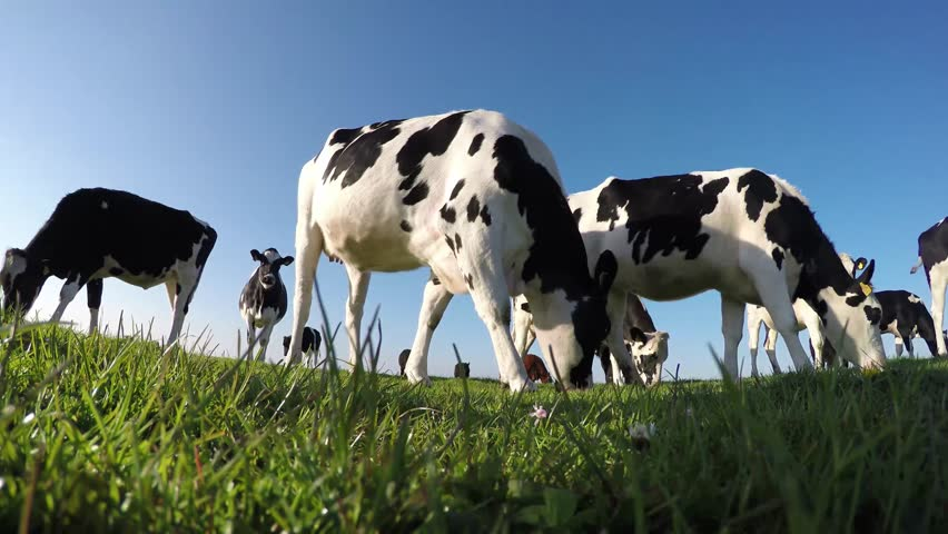 Black and white Holstein milk cows naturally eating and enjoying the green fresh grass low camera angle and a beautiful crisp blue sky friendly and clean clear natural environment 4k high resolution