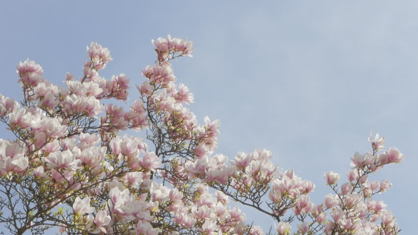 Magnolia Soulangeana Flowering Branches Against Stock Footage
