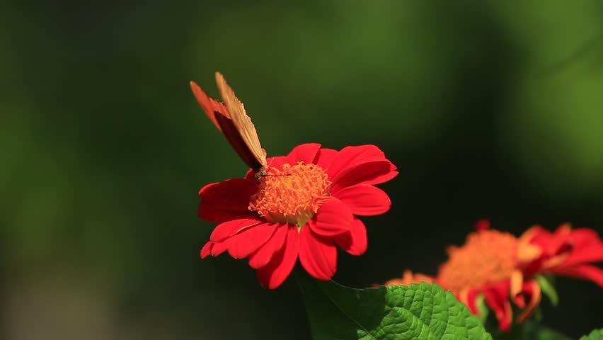 orange butterfly on red mexican flower #9737573