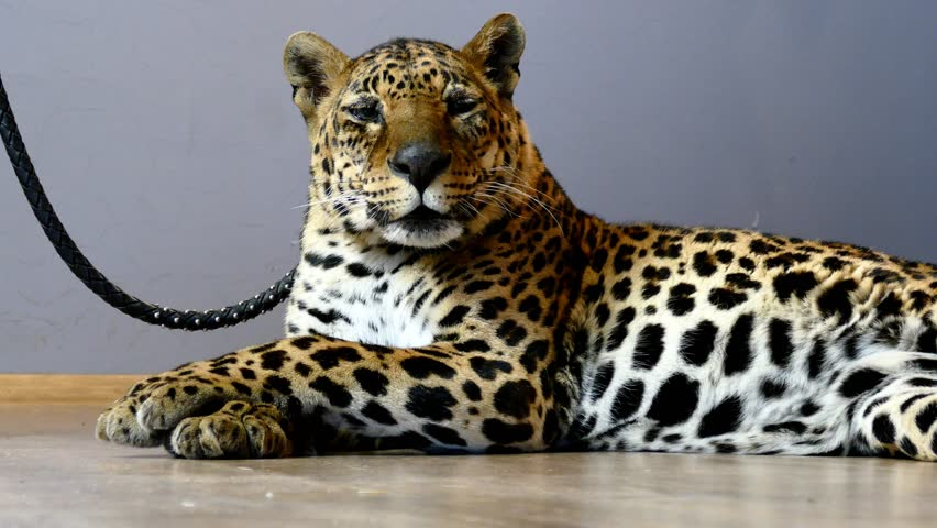 Close up portrait of leopard | Shutterstock HD Video #9741989