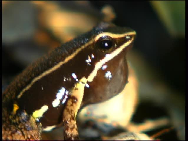 Header of Allobates femoralis