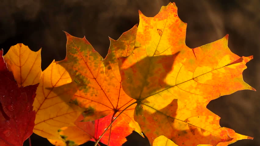 Smoke drifts behind fall leaves, rich with color. 1080p | Shutterstock HD Video #977779