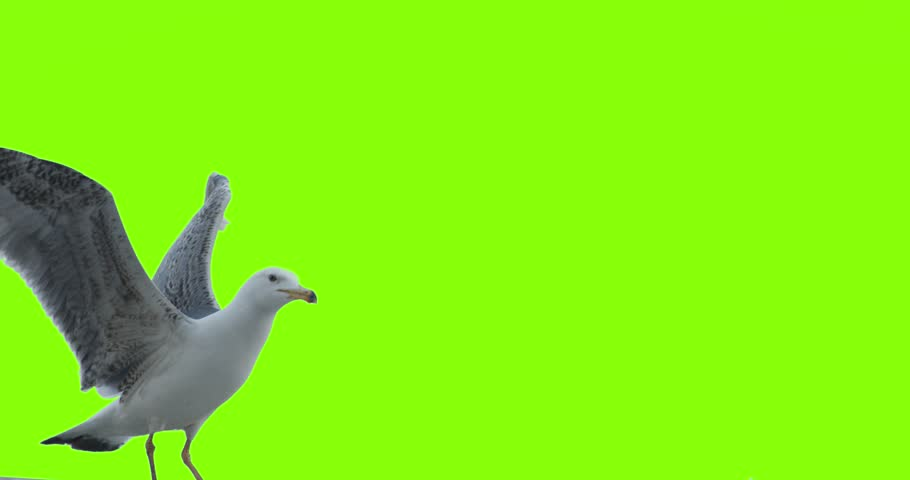 4K super slow motion footage of seagull landing eating and leaving the frame on green screen.