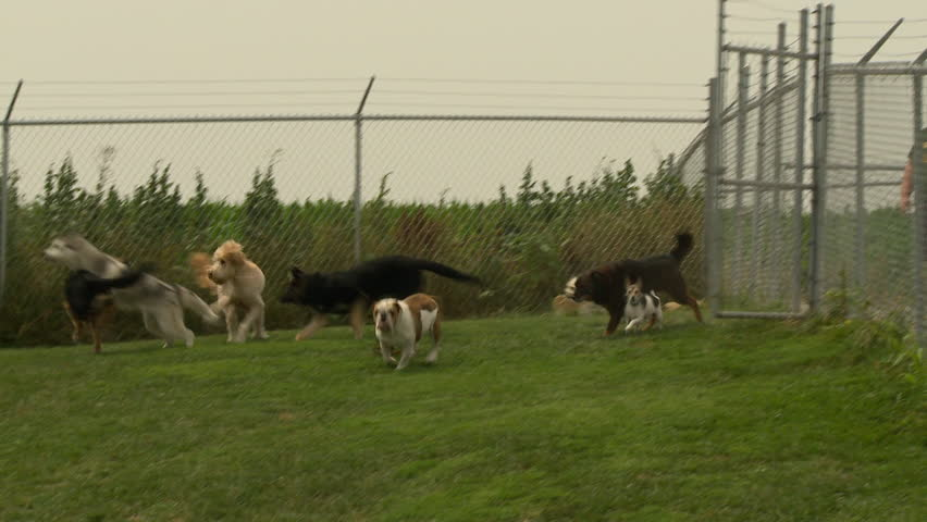 A group of dogs run towards the camera in a large, open field.