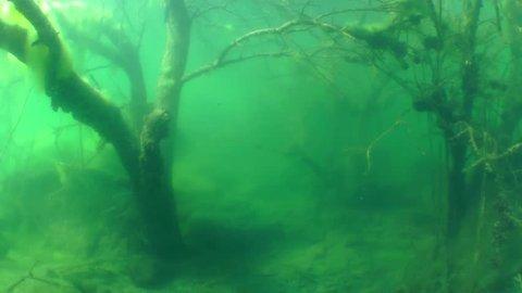 Swim among the sunken trees in a freshwater lake, wide shot. Mykolaiv region. Ukraine. Underwater landscape with sunken tree on background of the water surface, wide shot. Mykolaiv region. Ukraine.