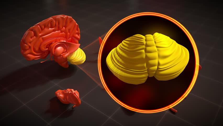 Hippocampus Brain Anatomy In 4k Resolution Stock Footage Video