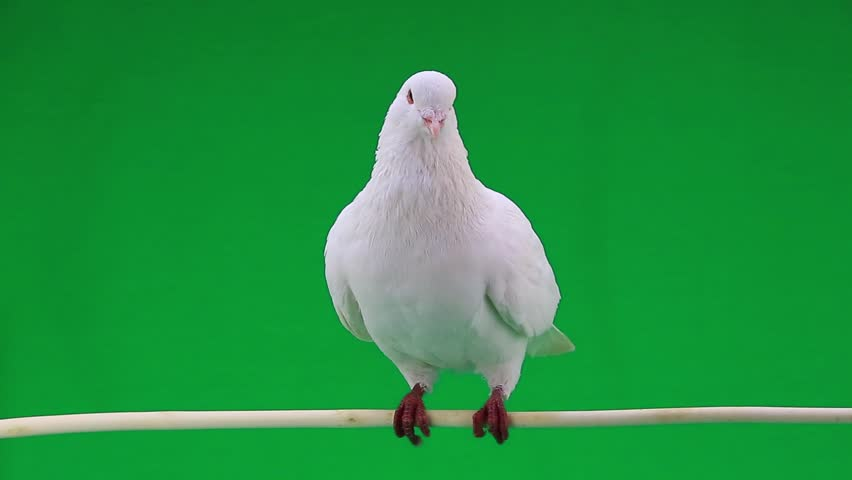 white pigeon on the green screen