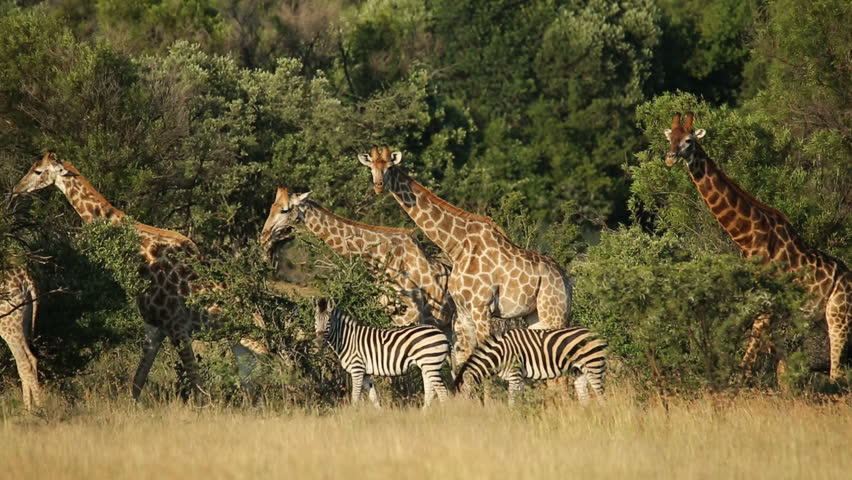 Giraffes (Giraffa camelopardalis) and plains zebras (Equus burchelli) in natural habitat, South Africa