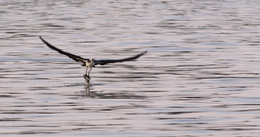 Osprey hawk swoops down and snatches fish from water and flies away in 240 fps slow motion.