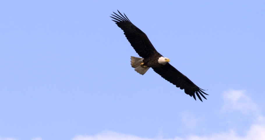 Bald Eagle flying in slow motion against blue sky and clouds. Close-up.